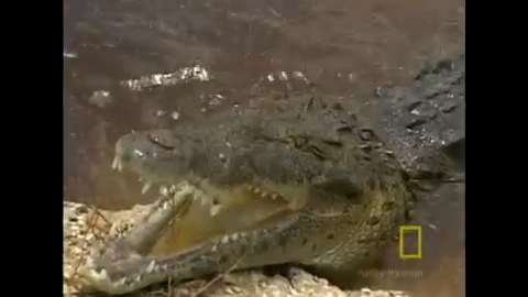 Face to face with a crocodile in Jamaica