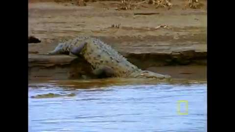 Managing crocodiles in Jamaica